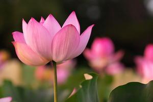 Lotus@2018 - Pythagorasnap (ぴたごらスナップ)