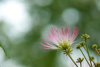 合歓木の花(松山総合公園) - かたくち鰯の写真日記2