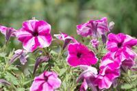 小さなローズガーデンに咲く花たち - 季節の風を追いかけて
