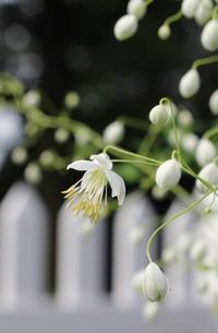 タリクトラムのくす玉が割れたヨ - ペコリの庭 *