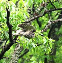 春先に出会ったフクロウを(その1)・・・ - 一期一会の野鳥たち