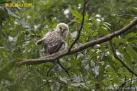 フクロウ<幼鳥> - 奥武蔵の自然