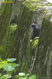 念願のマミジロ - 奥武蔵の自然