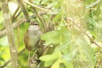 エゾセンニュウ - 北の野鳥たち