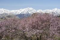 小川村 立屋の桜 番所の桜 - photograph3