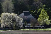 朝日村 光輪寺 桜 - photograph3