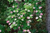 ピンクのつる植物再撮 - inside out