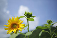 1356 向日葵 - 四季彩空間遠野