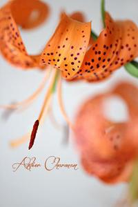 百合根の茶わん蒸しは・・・ - Atelier Charmant のボタニカル・水彩画ライフ