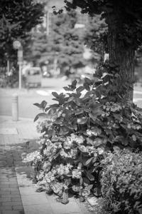 やがて来る灼熱の日々に身構える舗道上の紫陽花 - Silver Oblivion