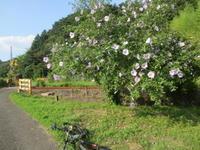 自転車のある風景 66 ムクゲの花 - じてんしゃでグルメ!3