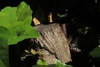 ■切り株に群れるチョウ18.7.15 - 舞岡公園の自然2