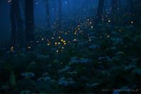 ヒメボタル 煙る森 - 遥かなる月光の旅