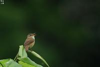 原生湿原の コヨシキリ - 野鳥公園