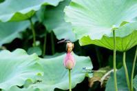 蓮の花にカワセミ ④ - azure 自然散策 ~自然・季節・野鳥~