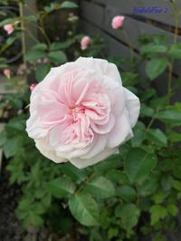 薔薇や夏の花♪ - Bleu Belle Fleur☆ブルーベルフルール