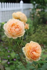 咲かせる夏バラと咲かせないバラ - ペコリの庭 *