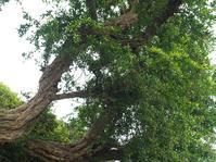 ザクロの古木 - hibariの巣