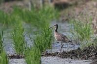 田んぼにてチュウシャクシギに逢う - 私の鳥撮り散歩