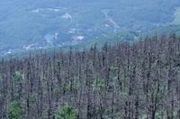 地蔵岳アオモリトドマツの悲惨 - 川の流れのカンツカブログ