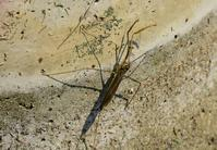 里山公園D7200 ミズカマキリ - 不定期更新 彩都付近の自然観察日記