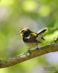 キビタキが巣箱を使うことは割合多いらしい - THE LIFE OF BIRDS ー 野鳥つれづれ記