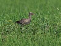 初見初撮りチュウシャクシギ - 『彩の国ピンボケ野鳥写真館』