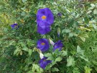 紫の花。名前が覚えきれない花を二つ。 - 沖縄山城紅茶 茶摘み日記