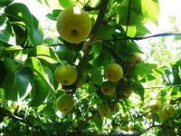 熊本梨 本藤果樹園 今年も『秋麗』も順調に育ってます!成長の過程で割れない工夫! - FLCパートナーズストア