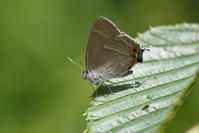 ホシチャと遊ぶ - 蝶と蜻蛉の撮影日記