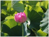 臼杵石仏の大賀ハス、今年も見に行くことが出来たよ、と言うお話¥(>3(O^-)/ウフ☆ - さくらおばちゃんの趣味悠遊