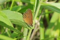 ヒメヒカゲ信州の高原で - 蝶のいる風景blog