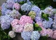 今年の紫陽花♪裏のガクアジサイに西洋アジサイ、いろいろ色々♪ - 窓の向こうに