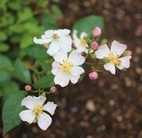 咲く花の向こうに見えるのは - HOME SWEET HOME ペコリの庭 *