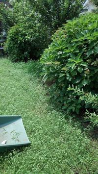 ガクアジサイの剪定その1 - うちの庭の備忘録 green's garden