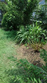 アジサイの剪定その2、クラピア刈り5回目 - うちの庭の備忘録 green's garden