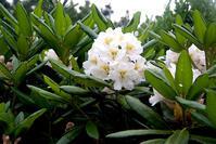 ハクサンシャクナゲ - オバサンが行く ヒマラヤの青いけしの旅/改め   時々蔵王の花たち