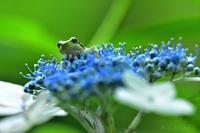 みちのく紫陽花に蛙ちゃん - みちのくの大自然