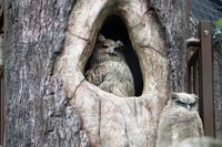 2018年6月旭山動物園でシマフクロウの雛が巣立ちました。 - ノラニンジンの咲く庭