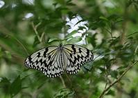 宮古島で出会ったチョウたち - 公園昆虫記