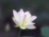 昭和記念公園で紫陽花と蓮 - 光の音色を聞きながら Ⅲ