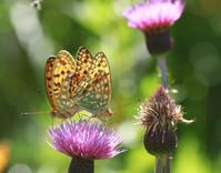 オナガシジミ信州の高原(続) - 蝶のいる風景blog