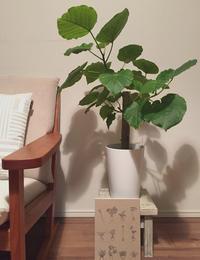 ウンベラータ生育中 - kukka  kukka