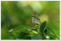 花に集まる蝶たち - ハチミツの海を渡る風の音