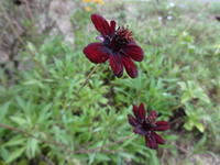 チョコレートコスモス - だんご虫の花