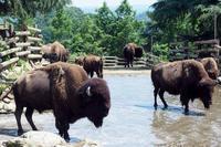 水場に集うアメリカバイソンたち - 動物園放浪記