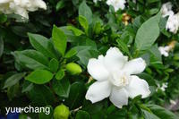 2018.6.10 くちなしの白い花 - 下手糞PHOTO BLOG