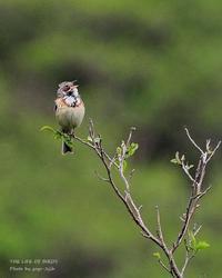 裸地の混じる比較的丈の低い草地を好む、ホオアカ - THE LIFE OF BIRDS ー 野鳥つれづれ記
