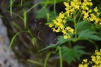 ツマジロジャノメ7月16日 - 超蝶
