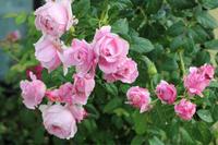 咲かせています2番花 - my small garden~sugar plum~